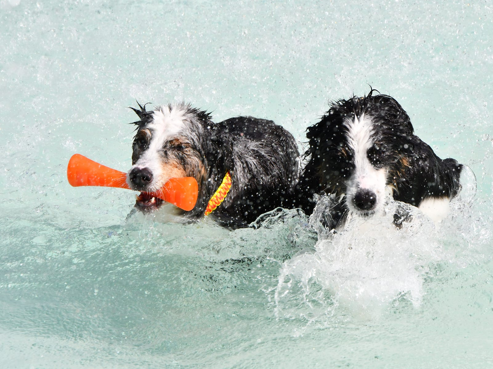 These dogs enjoy retrieving toys from the pool at the  Santa Paws Holiday Pooch Plunge at Sailfish Splash Waterpark.