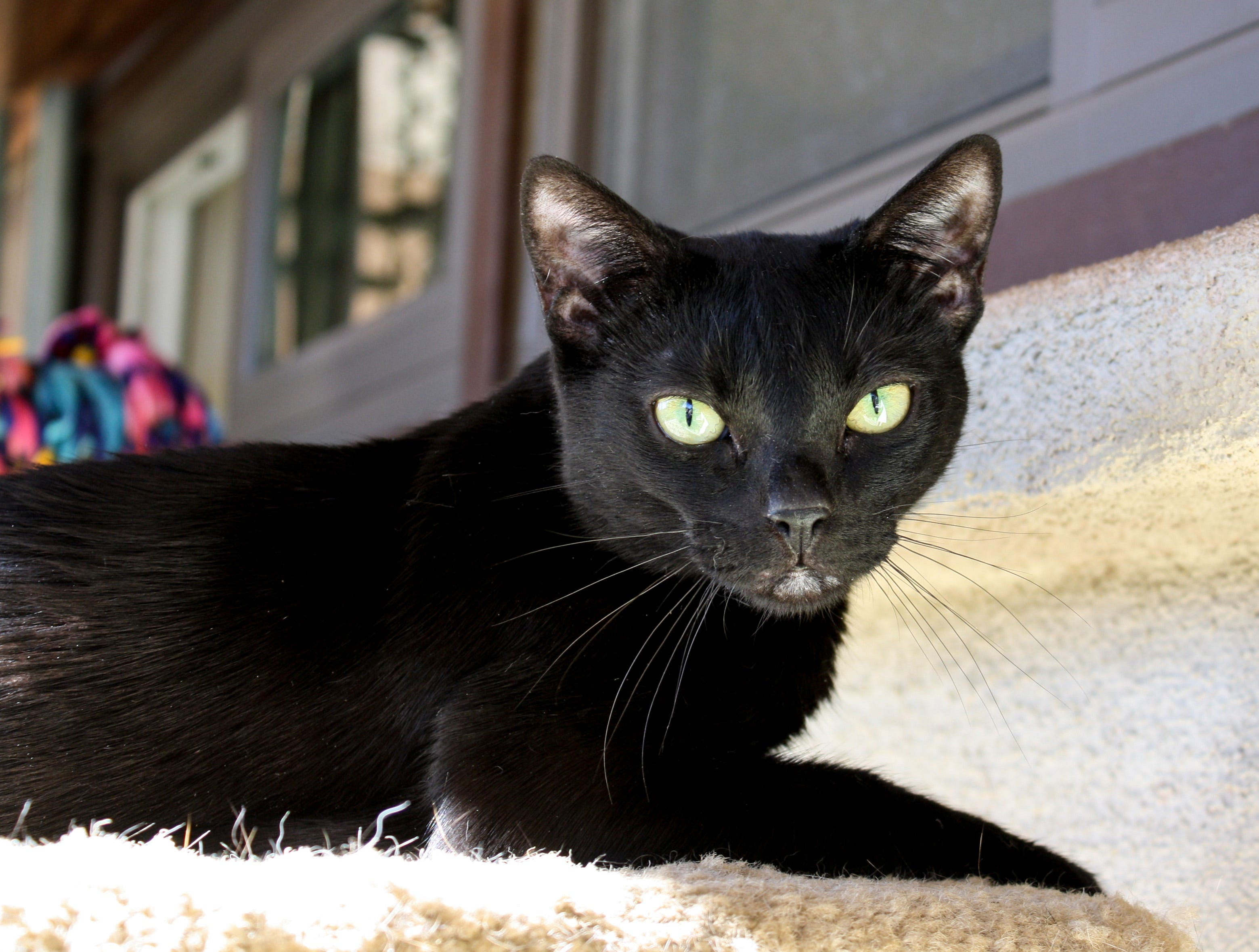 Shadow is a charming adult cat. She lives peacefully in the animal shelter's cat room with no problem. Shadow is spayed and always remembers to useher litter box. Her favorite thing to do is to relax on the cat tree. She would do best in a low- to medium-energy home.You can meet Shadow at the Humane Society of Ventura County in Ojai. Her discounted adoption fee of $75 includessterilization, vaccinations, microchip implantation, free veterinarian visit, feline leukemia test,ID tag and aloving new family member.For more information on Shadow or other available animalsor to volunteer, please call 805-646-6505 or visit www.hsvc.org. The shelter is at 402 Bryant St.,Ojai. Hours are 10 a.m. to 5 p.m. Monday through Saturday.