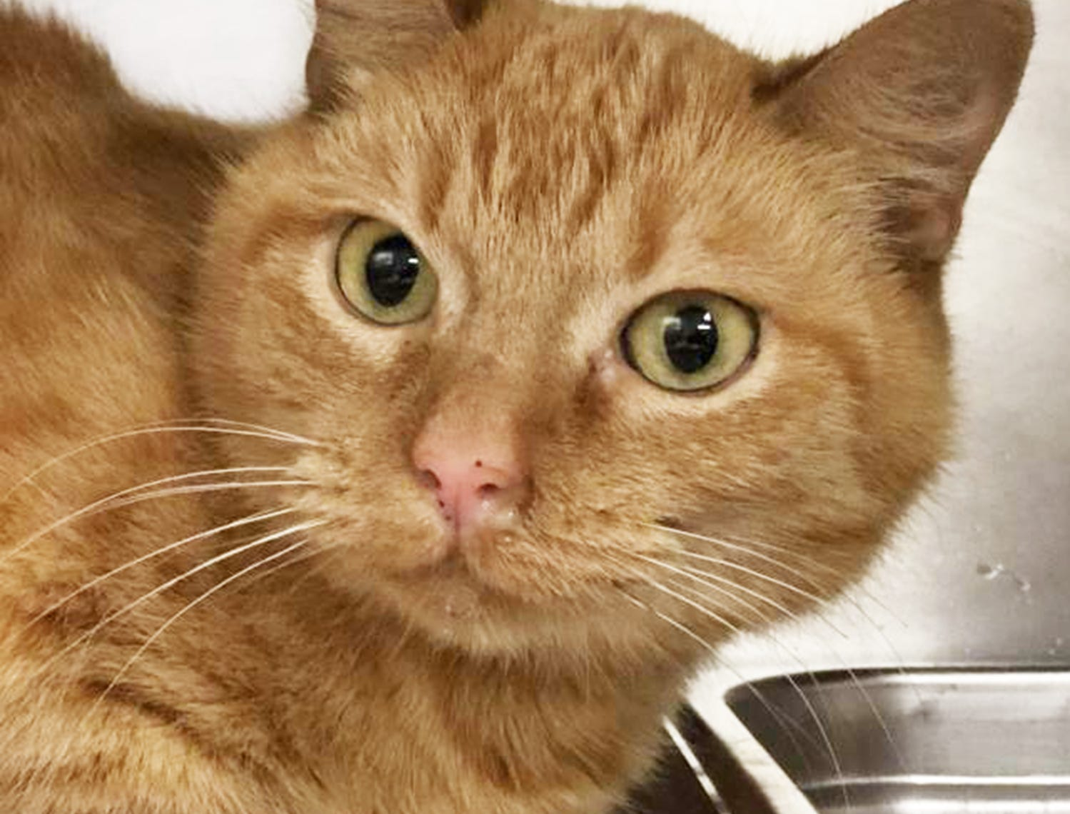 Are you looking for a lap kitty? Ginger is a sweet, mellow and affectionate orange tabby. She is only 11 months old and is ready for a lifetime of love. You can meet Ginger at the Camarillo location of Ventura County Animal Services, 600 Aviation Drive, Camarillo. Ginger's ID number is A700596. For more information on VCAS, or to see other available animals, go to www.vcas.us.