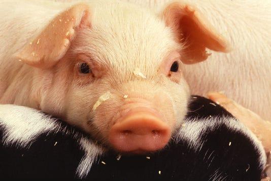 Usda Pigs