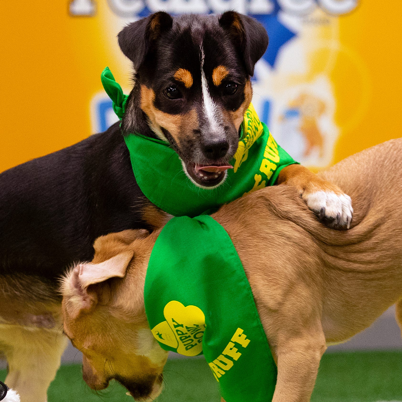 """Teams """"Ruff"""" and """"Fluff"""" will go head to head when the 15th annual """"Puppy Bowl"""" airs on Animal Planet this Super Bowl Sunday."""