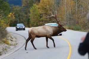 Bull elk cross the highway near Jasper in Canada's Alberta province.
