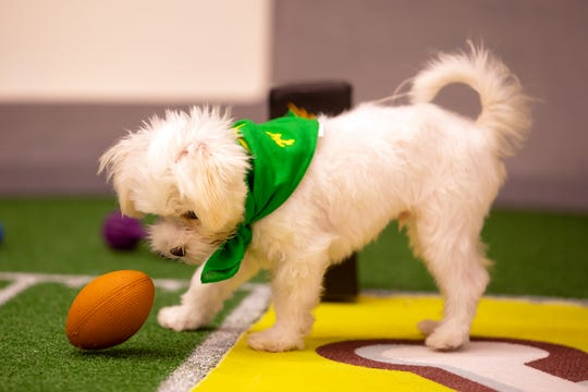 "Pistachio, a 20-week-old Maltese, is one of 93 cuddly canines competing in ""Puppy Bowl XV."""