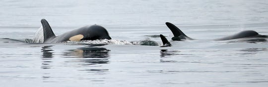 Southern resident orcas swim off Point No Point in Hansville in 2015. A top expert in the endangered mammals said this week that two more of them are likely to die before summer.
