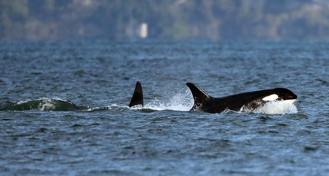 2015 FILE — A pod of Southern Resident orcas travels past Point No Point in Hansville in 2015.