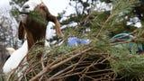 Goats on Marlton farm make meals of  neighbors' discarded Christmas trees