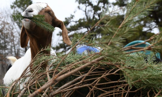A goat at BnT Farm in Marlton eats a discarded Christmas tree on Wednesday, January 2, 2019.