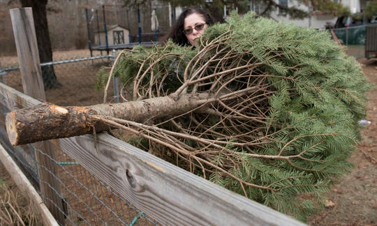 Tami Millaway, owner of BnT Farm in Marlton, tosses a discarded Christmas tree into her goat pen on Wednesday, January 2, 2019.   The goats on the Marlton farm make meals of neighbors' discarded Christmas trees