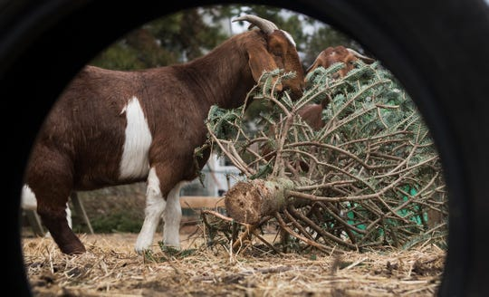 Goats at BnT Farm in Marlton eat a discarded Christmas tree on Wednesday, January 2, 2019.