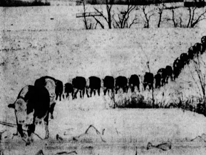 These Herefords on the Cloy Gericke farm near Waukon decided to play follow-the-leader while winding their way across the snow-covered ground.