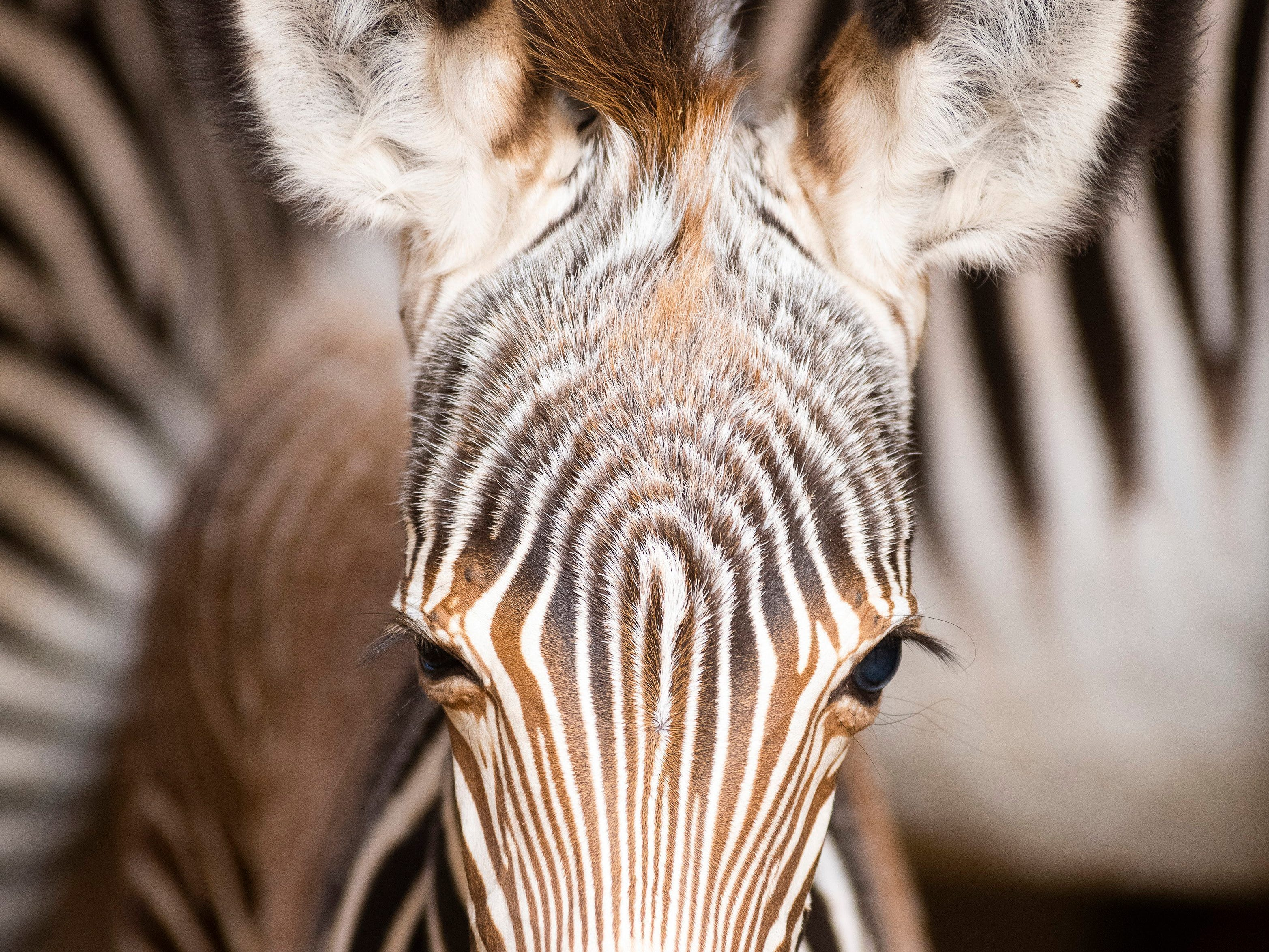 A 3-day old Grevy's zebra stays in its enclosure in the Nyiregyhaza Animal Park in Nyiregyhaza, Hungary, Thursday, Jan. 3, 2019. Grevy's or imperial zebra is the largest species of zebra and the largest wild equid.