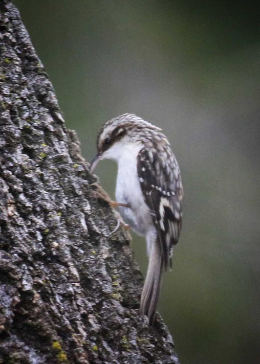 Brown creepers