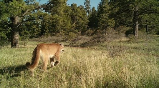 A trail camera captures a lion in Montana.
