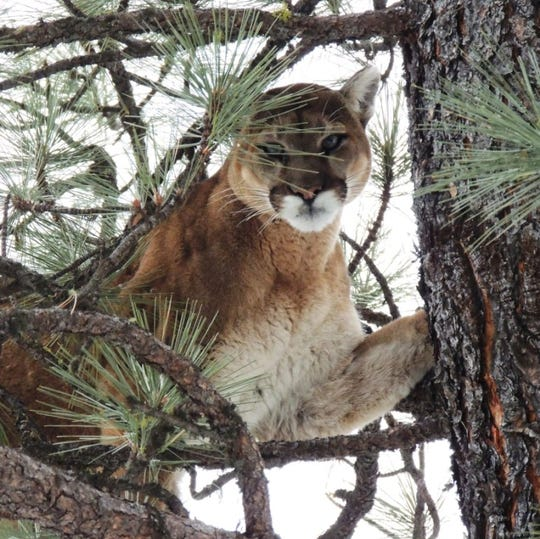 This female lion was treed as part of Fish, Wildlife and Parks research efforts. The agency is developing is first-ever statewide strategy to manage lions.