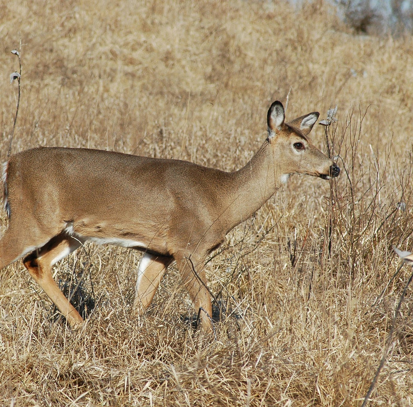 New deer hunting regulations are in place to combat CWD. Here's what you need to know