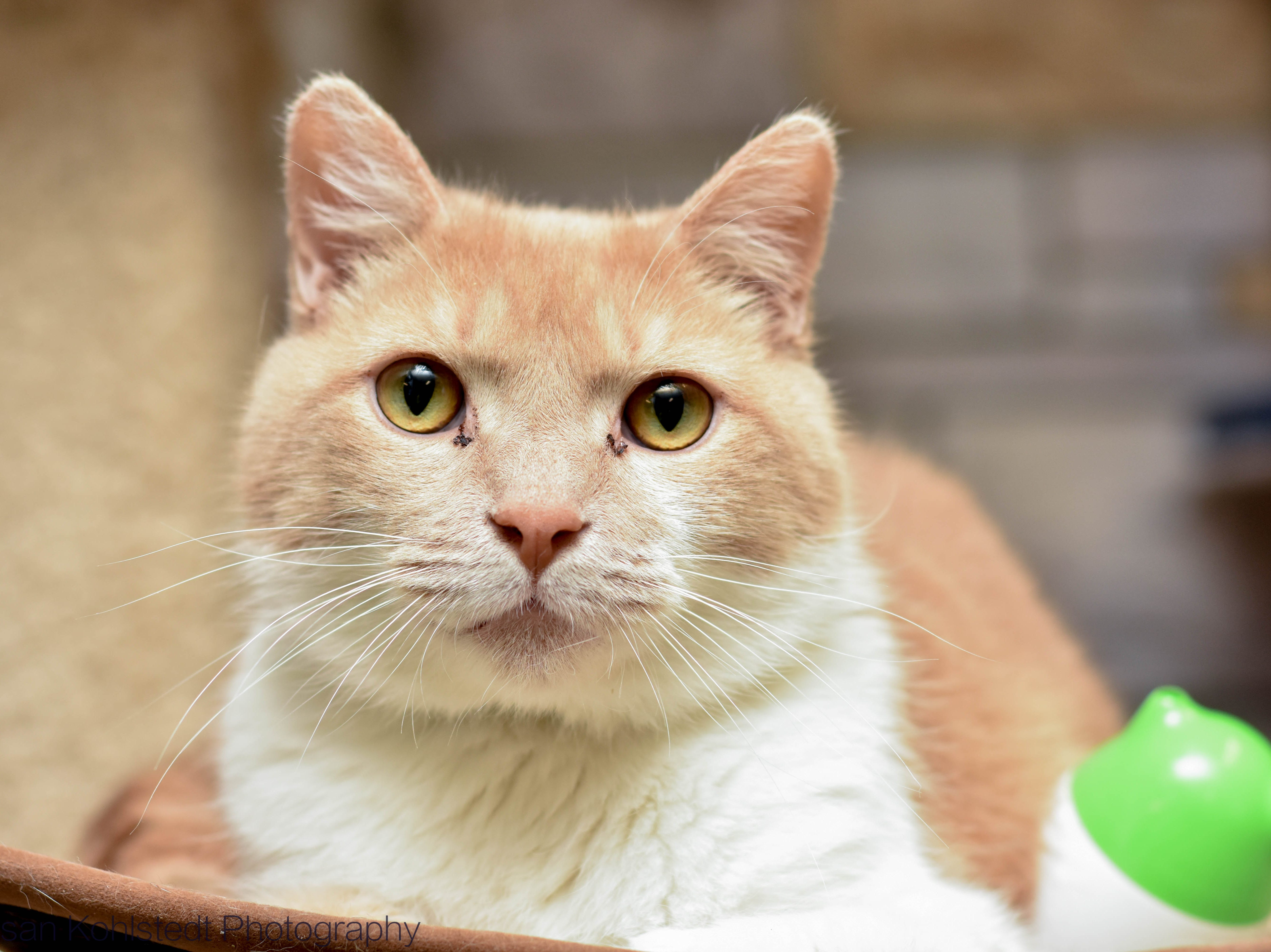 Tiger is a big guy at 14 lbs. He loves to lie on his tall cat towers and relax. He is no-drama and gets along with everyone. Meet Tiger and all our adoptable animals at HumaneSocietyTennnessee.org!