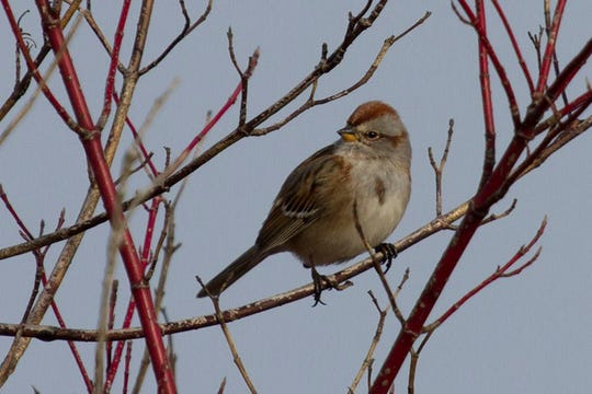 American tree sparrow, a winter bird of Woodland Dunes.