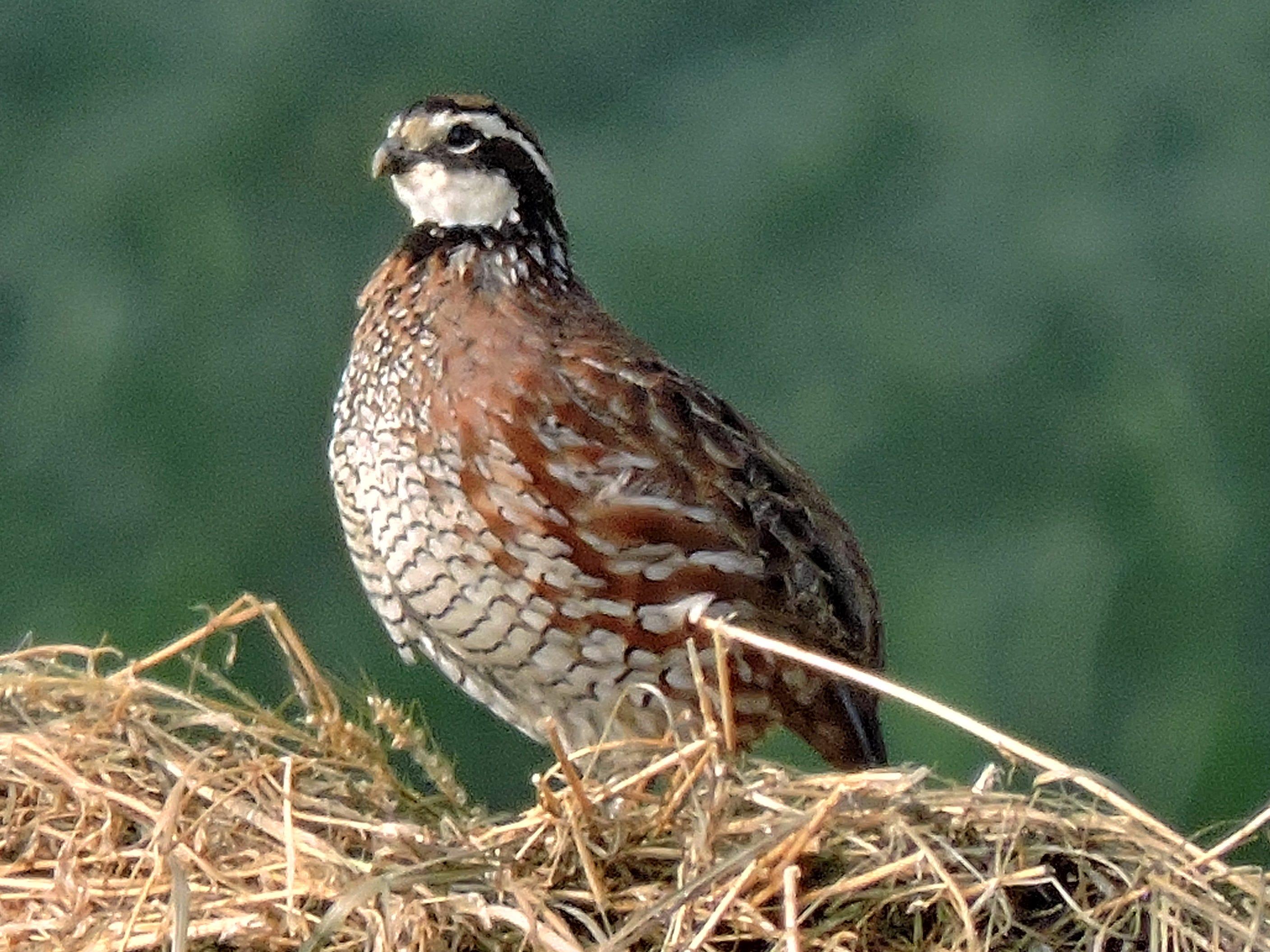 Bobwhite quail in Prairie du chien.