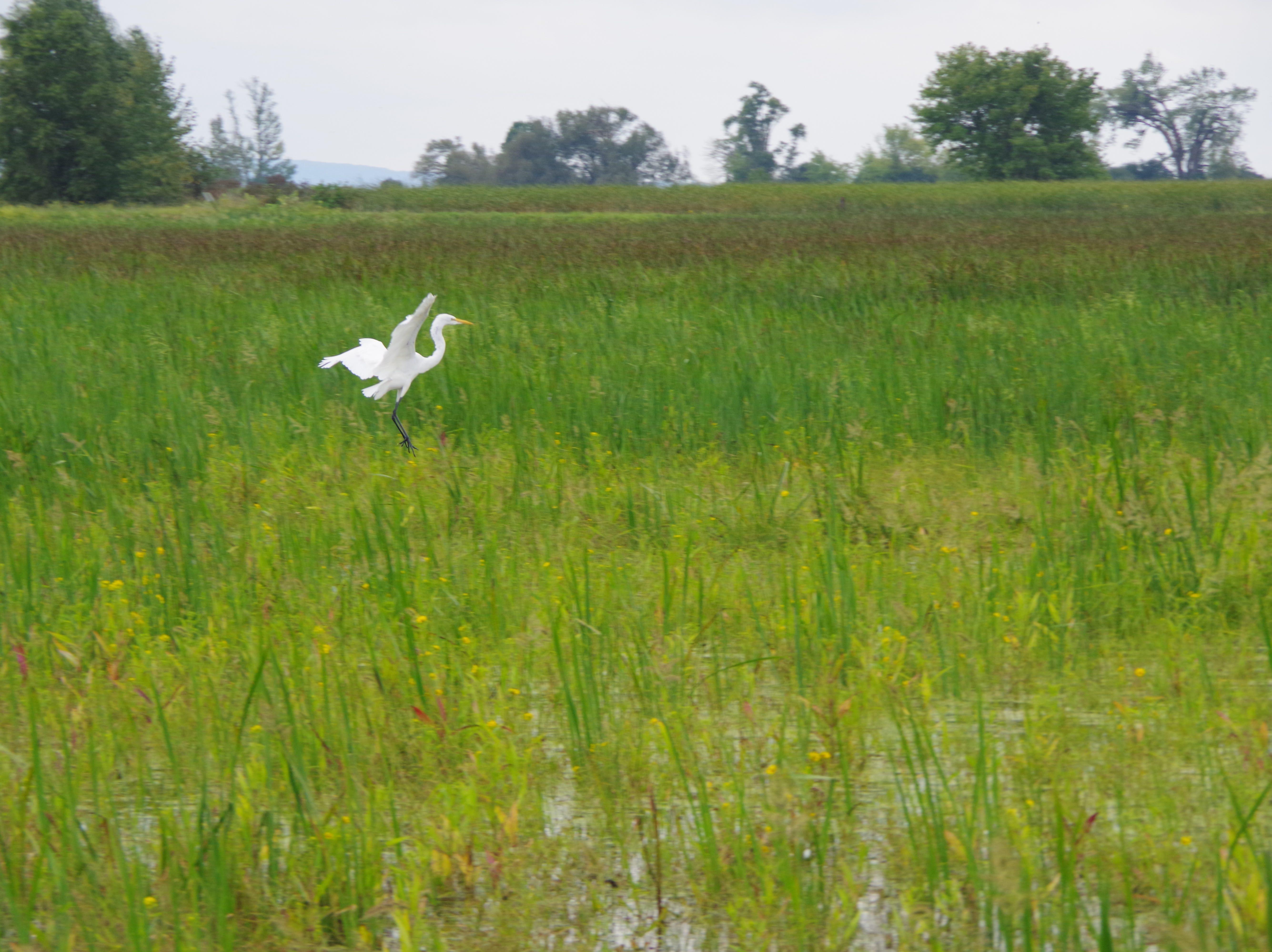 Egret landing in Horicon Marsh.