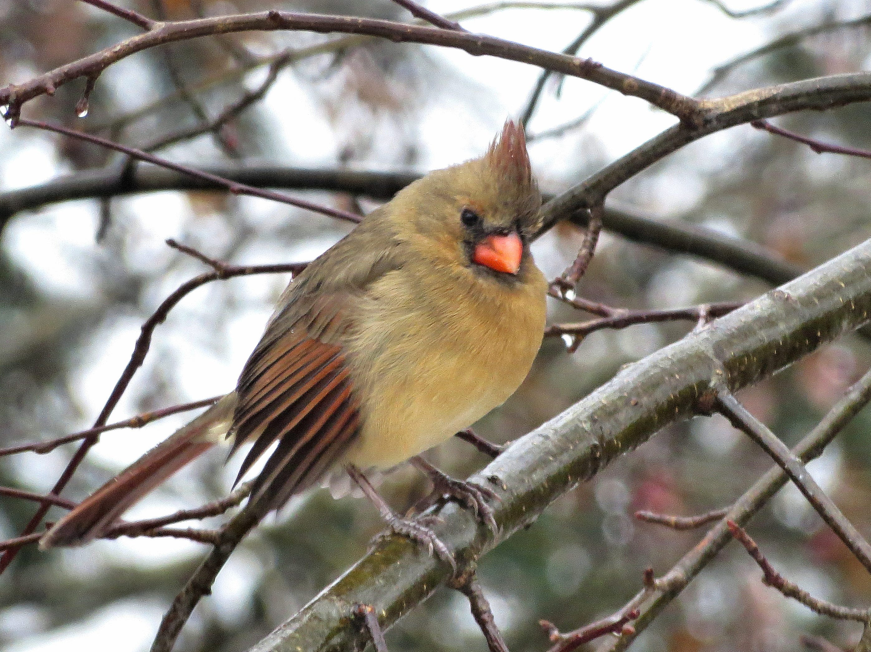 Female cardinal, Greendale.