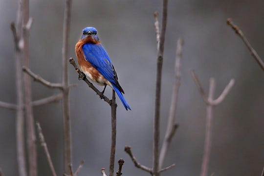 Wild About Bluebirds Day at Owl's Hill Nature Sanctuary in Brentwood is Saturday, Jan. 19.