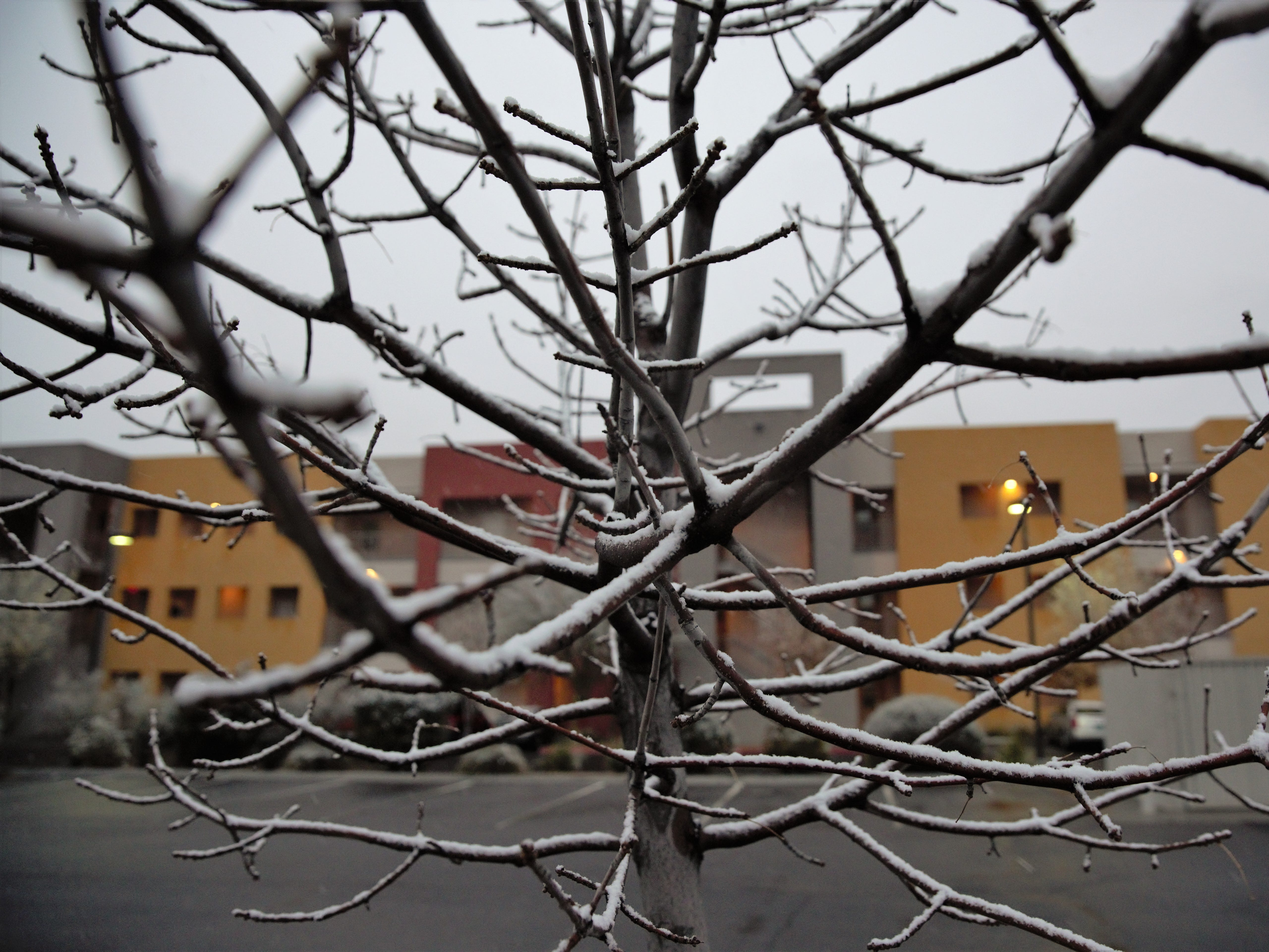 Snow accumulates on branches at the Las Cruces Sun-News, 256 W. Las Cruces Ave., just before sunset on Wednesday, Jan. 2, 2019.