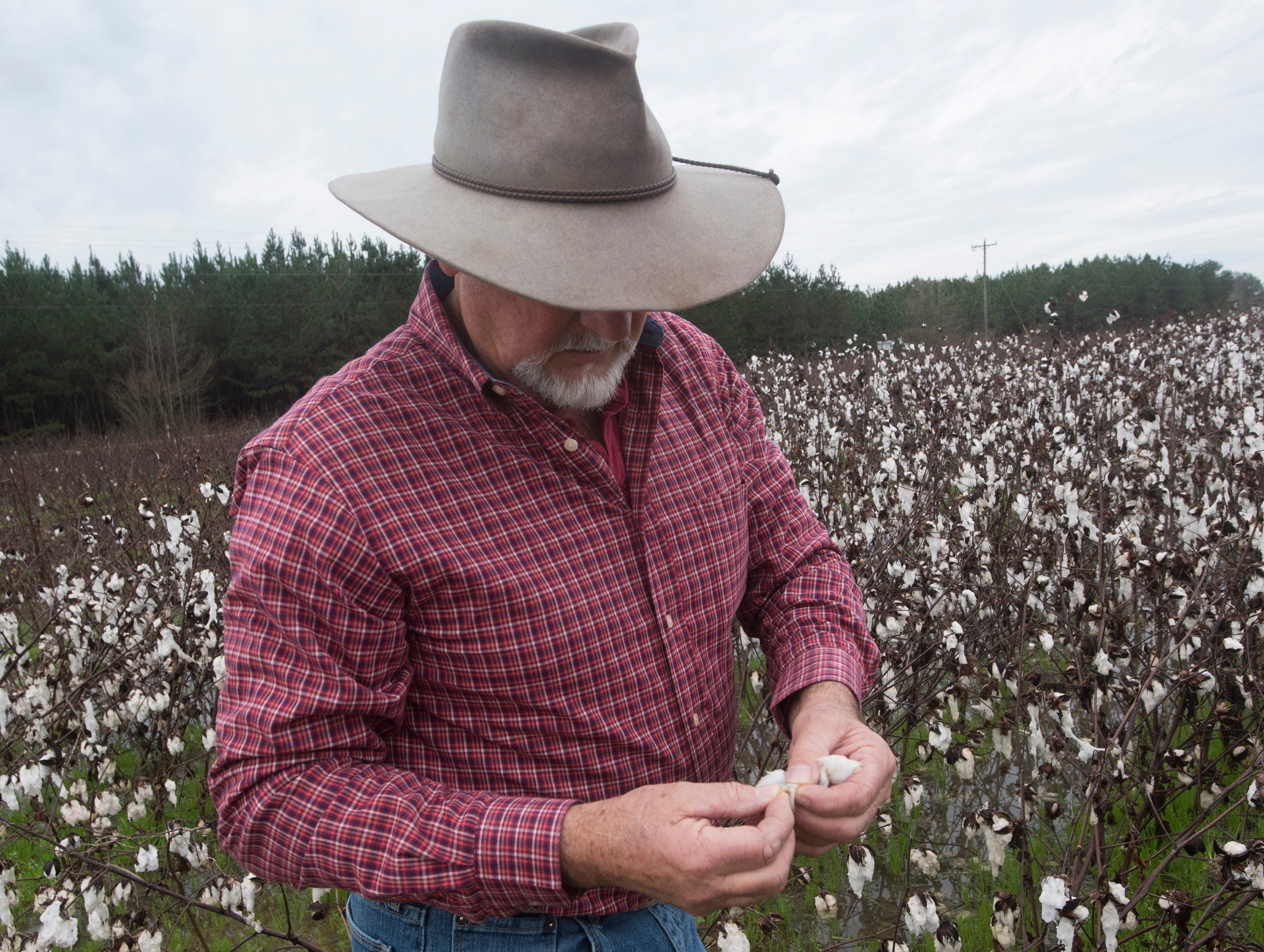 Atmore area farmer, Rodney Helton, inspects what is left of his cotton crop in a rain-soaked field on Thursday, Jan. 3, 2019. Helton, like many area farmers, is facing significant loses after record rainfall total this harvesting season.