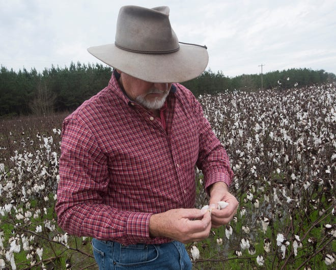 Farmer Rodney Helton inspects what is left of his cotton crop as he stands in a rain-soaked field in Atmore, Alabama, on Thursday. Helton, as well as many area farmers, is facing significant loses after record rainfall last year.