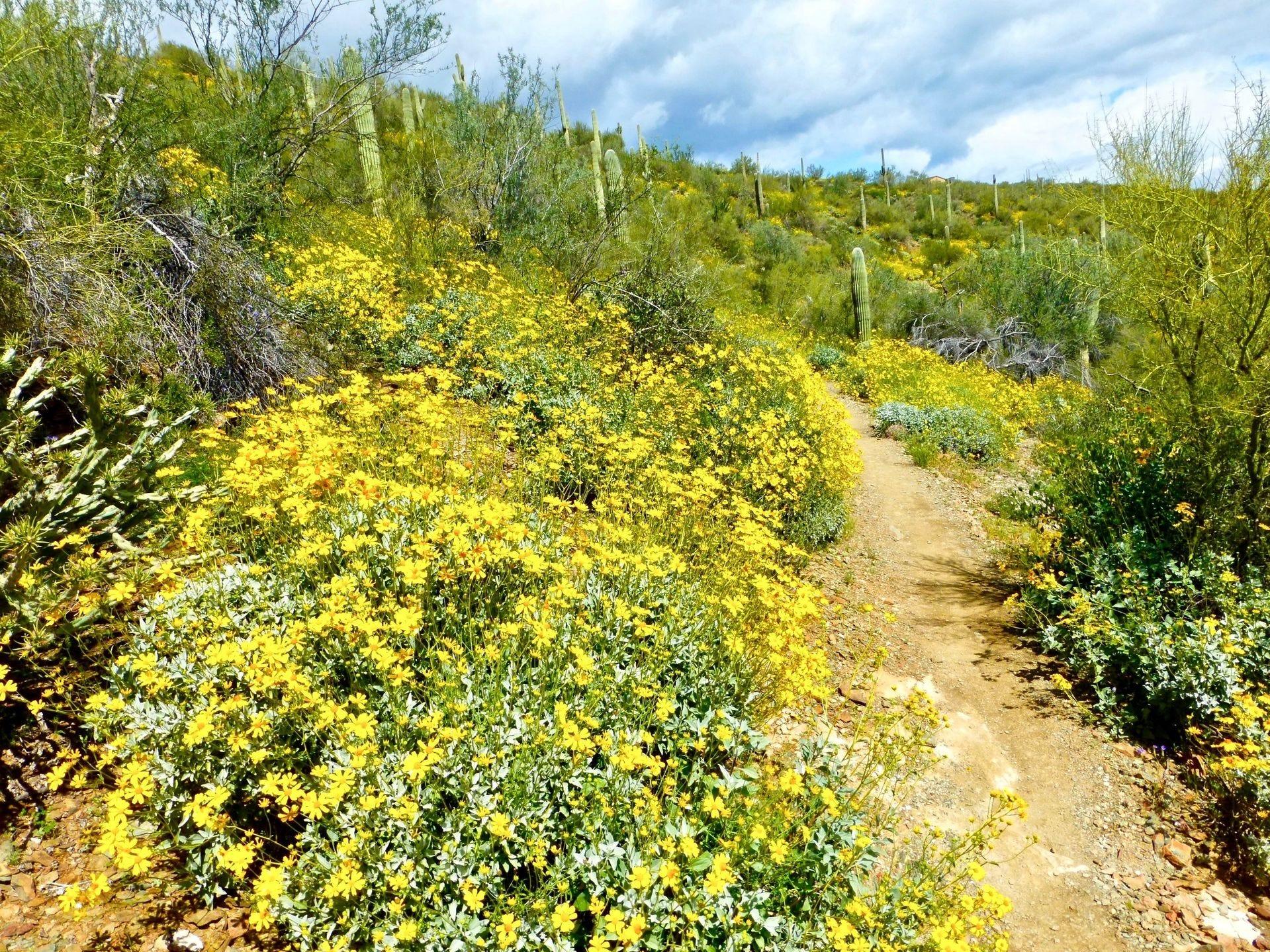 Las flores silvestres agregan un toque de color al desierto de Arizona a fines del invierno y principios de la primavera.