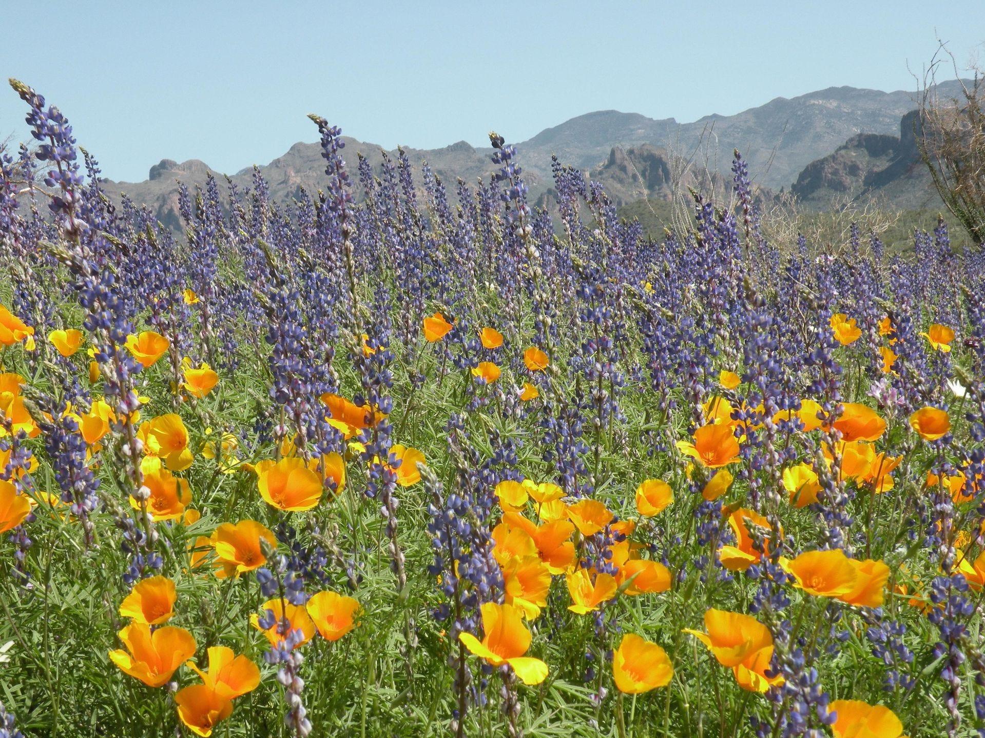 Las amapolas y el lupino hacen una declaración colorida en el desierto de Arizona.