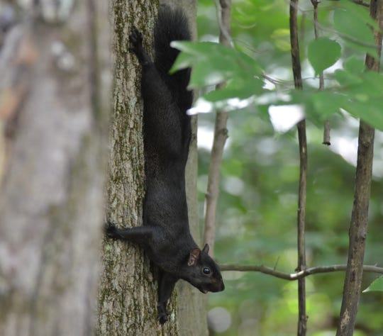 Squirrel season continues, as the Commissioners eye a Saturday opener for rifle deer season.