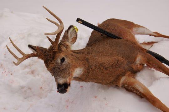 The only deer taken by the author in Flintlock season.