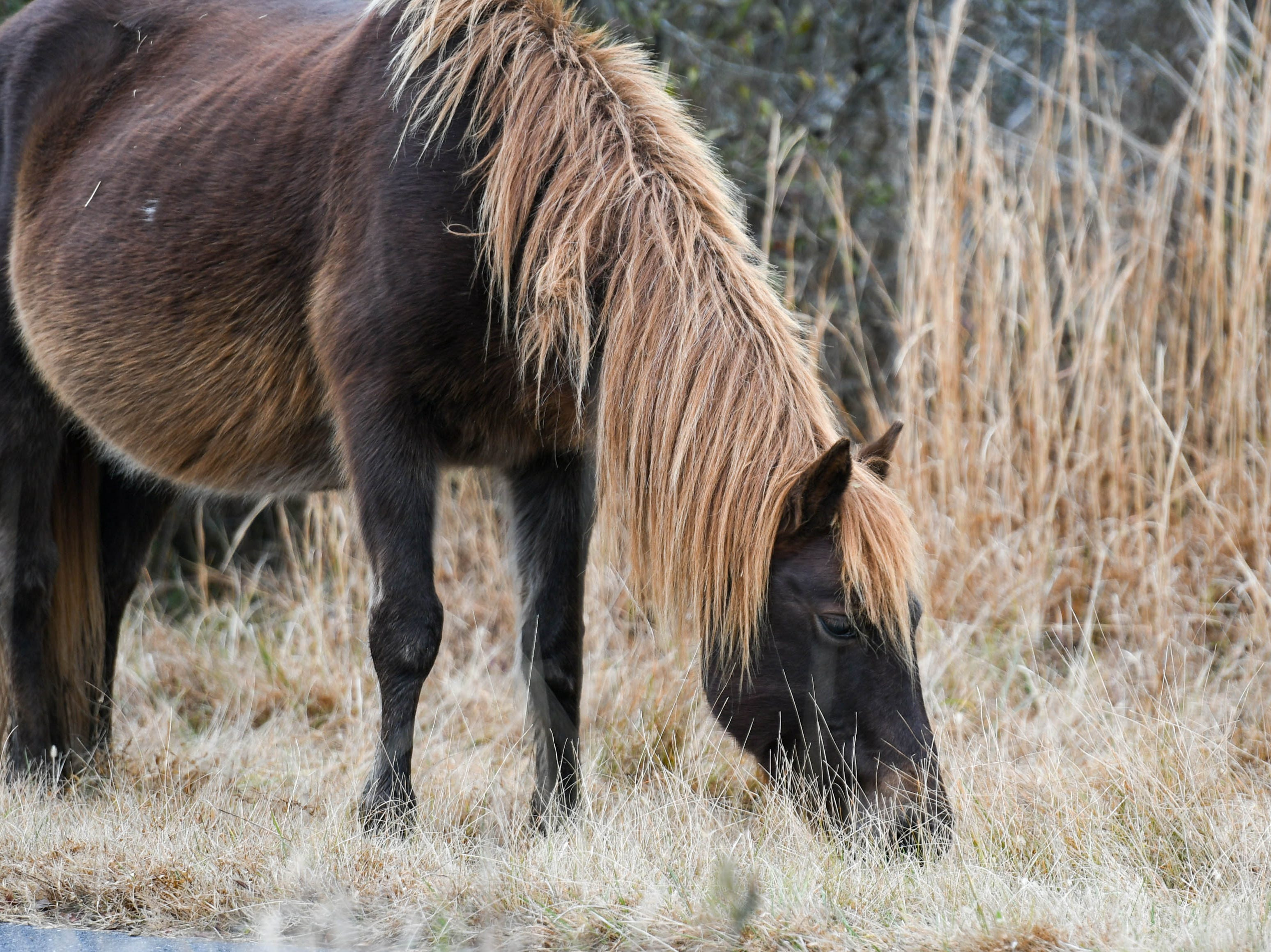 A pony grazes on the road leading to Assateague National Park on Thursday, Jan 3, 2018. The park remains open during the federal government shutdown, however facilities and the visitors center are closed.