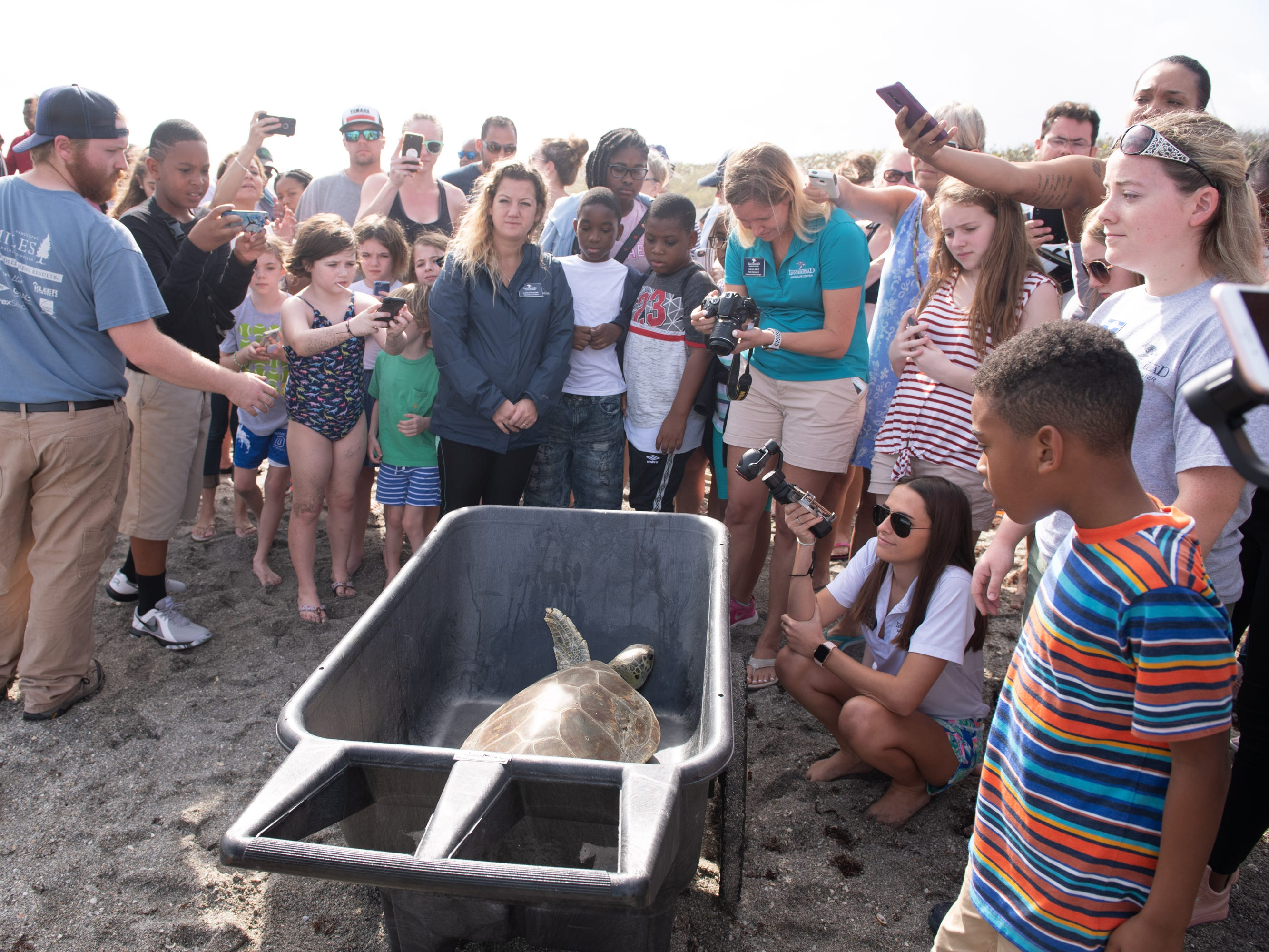 "The Nature Conservancy and Loggerhead Marinelife Center return a rehabilitated 35 pound juvenile green sea turtle nicknamed ""Scallywag"" to the ocean at the Nature Conservancy's Blowing Rocks Preserve on Thursday, Jan. 3, 2019, in Hobe Sound. The green sea turtle was found floating in the surf with serious injuries from what they believe to be a shark attack in December 2016, and has spent the past two years undergoing rehabilitation at the Loggerhead Marinelife Center."