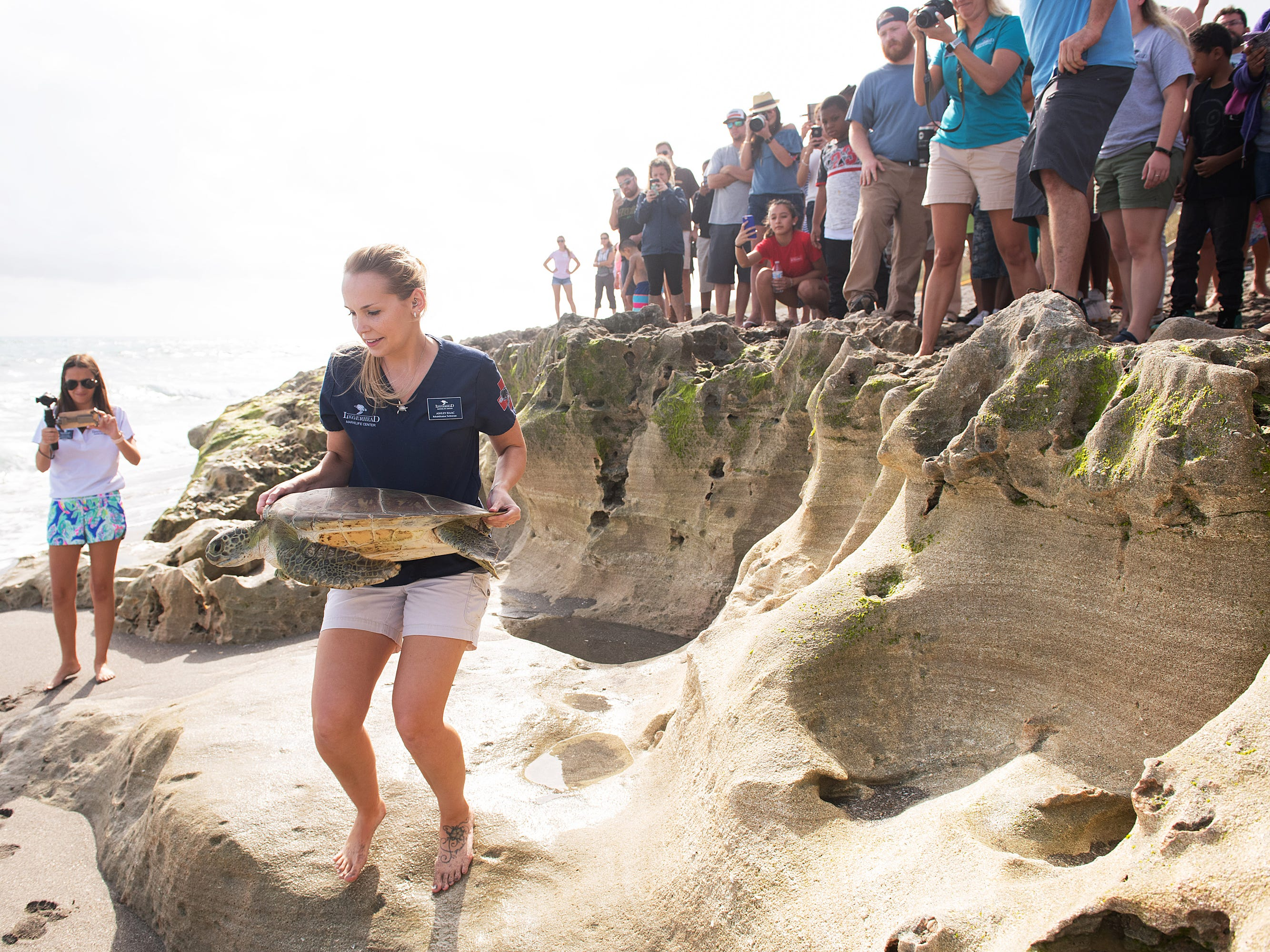 """Loggerhead Marinelife Center rehabilitation technician Ashley Isaac returns a rehabilitated 35 pound juvenile green sea turtle nicknamed """"Scallywag"""" to the ocean at the Nature ConservancyÕs Blowing Rocks Preserve on Thursday, Jan. 3, 2019, in Hobe Sound. The green sea turtle was found floating in the surf with serious injuries from what they believe to be a shark attack in December of 2016 and has spent the past two years undergoing rehabilitation at the Loggerhead Marinelife Center. """"We are very happy that Scallywag gets to return to its ocean home today,"""" said Isaac."""
