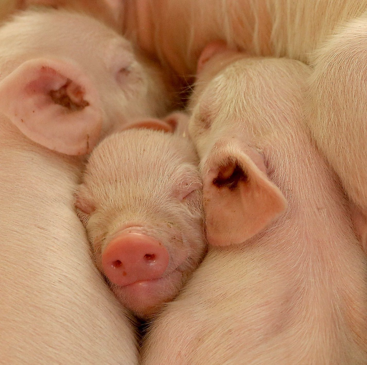 Officials seize 1M lbs. of pork amid virus concerns