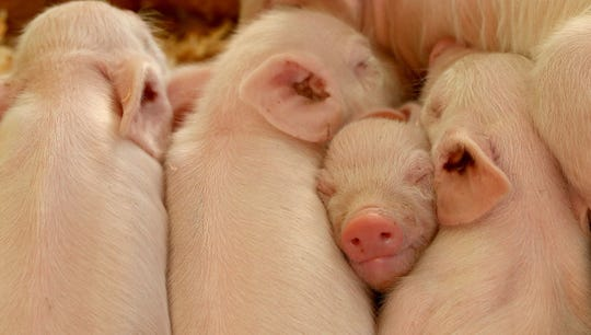 A 25 percent tariff on pork was unwelcome news in Iowa.   special to the register Piglets snooze in the pig barn at the Kitsap County Fair & Stampede.
