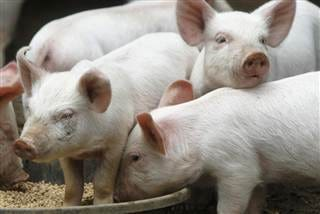 U.S. hog farmers continue to face an unprecedented emergency as a result of COVID-related challenges, with an estimated two million hogs still backed-up on farms.