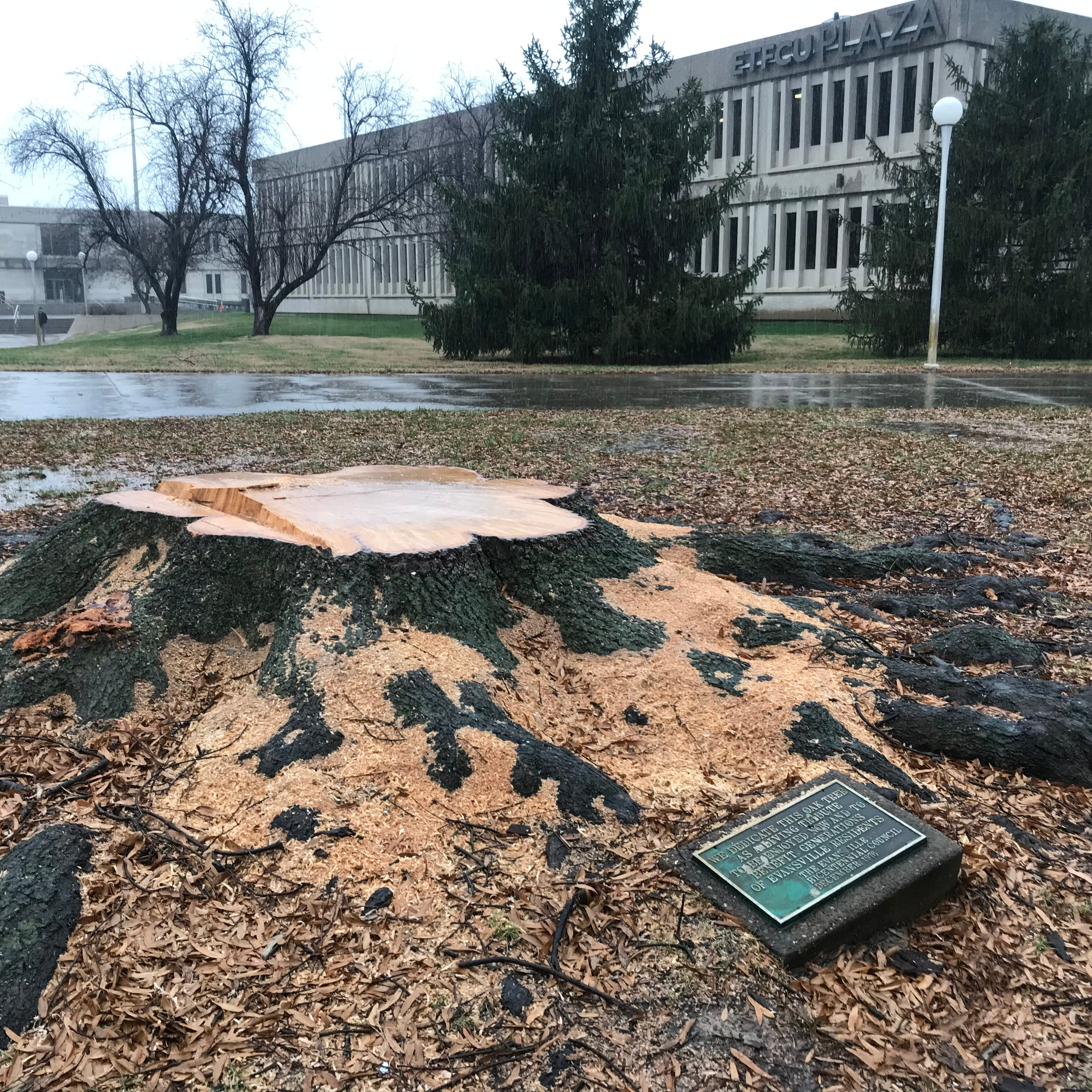 Contractors say: 'Evansville's Bicentennial Tree was not cut down by mistake'