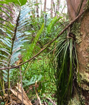 Leather and shoestring ferns in the wetland Fort Myers wants to use to build its next fire station.