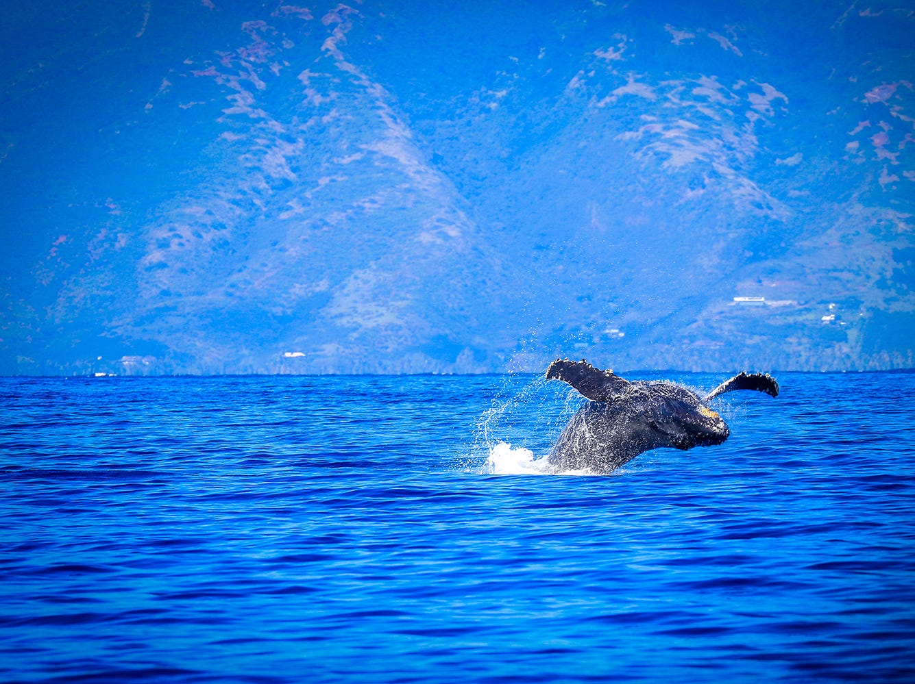 Whale season takes place November through April with humpback whales (called kohola in Hawaiian) migrating to Hawaii to breed and nurse their young. Travelers can play I-Spy from their guestroom lanai and see these giant mammals spouting and breaching just offshore from Ka'anapali Beach.