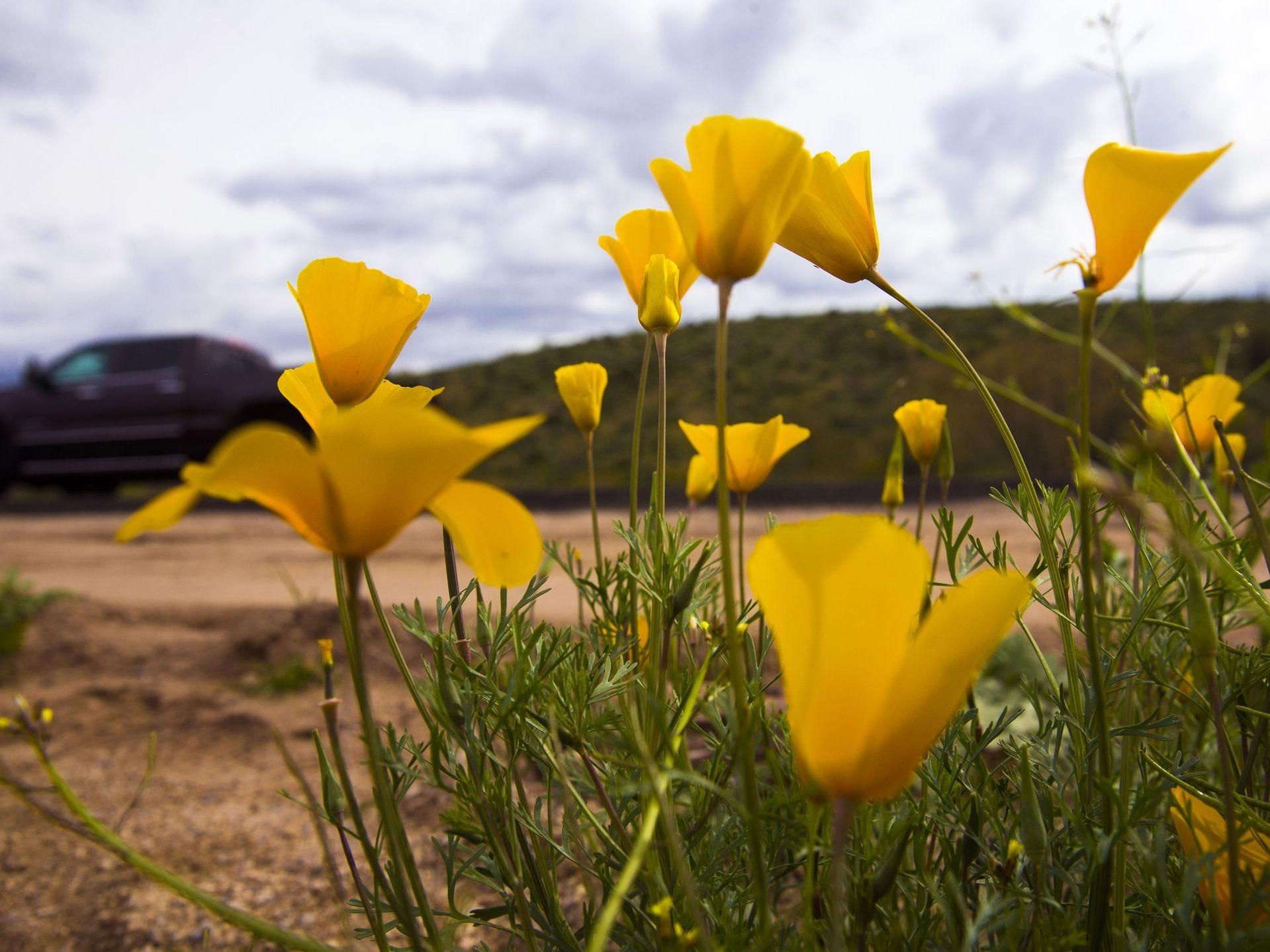 Las amapolas mexicanas del oro florecen en el desierto de la carretera de Bush en el Bosque Nacional Tonto al norte del lago Saguaro el 5 de marzo de 2017.