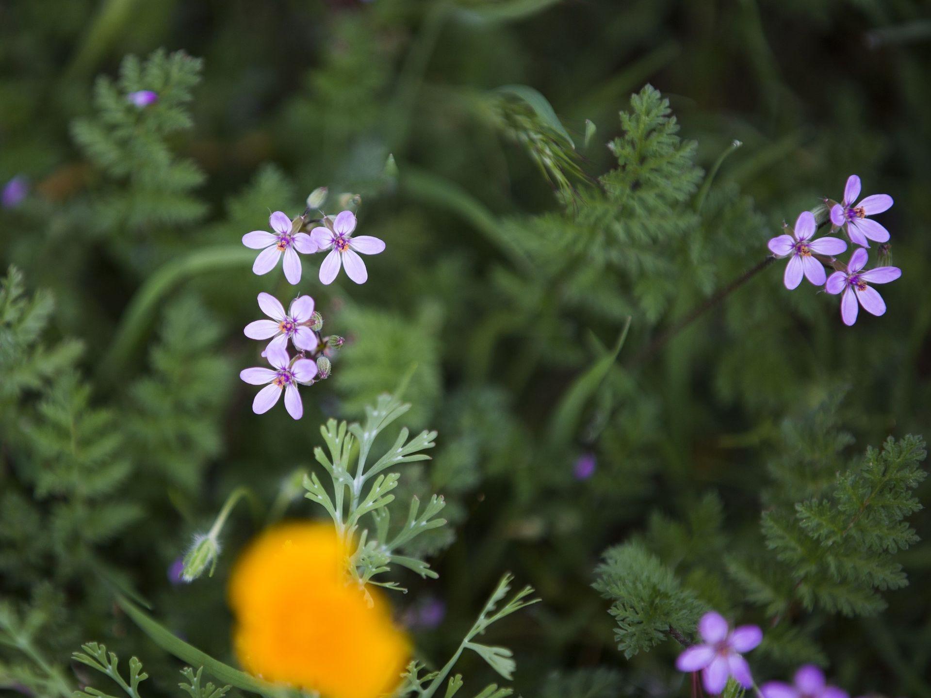 Las flores silvestres florecen en el desierto de la carretera de Bush en el Bosque Nacional Tonto al norte del lago Saguaro el 5 de marzo de 2017.