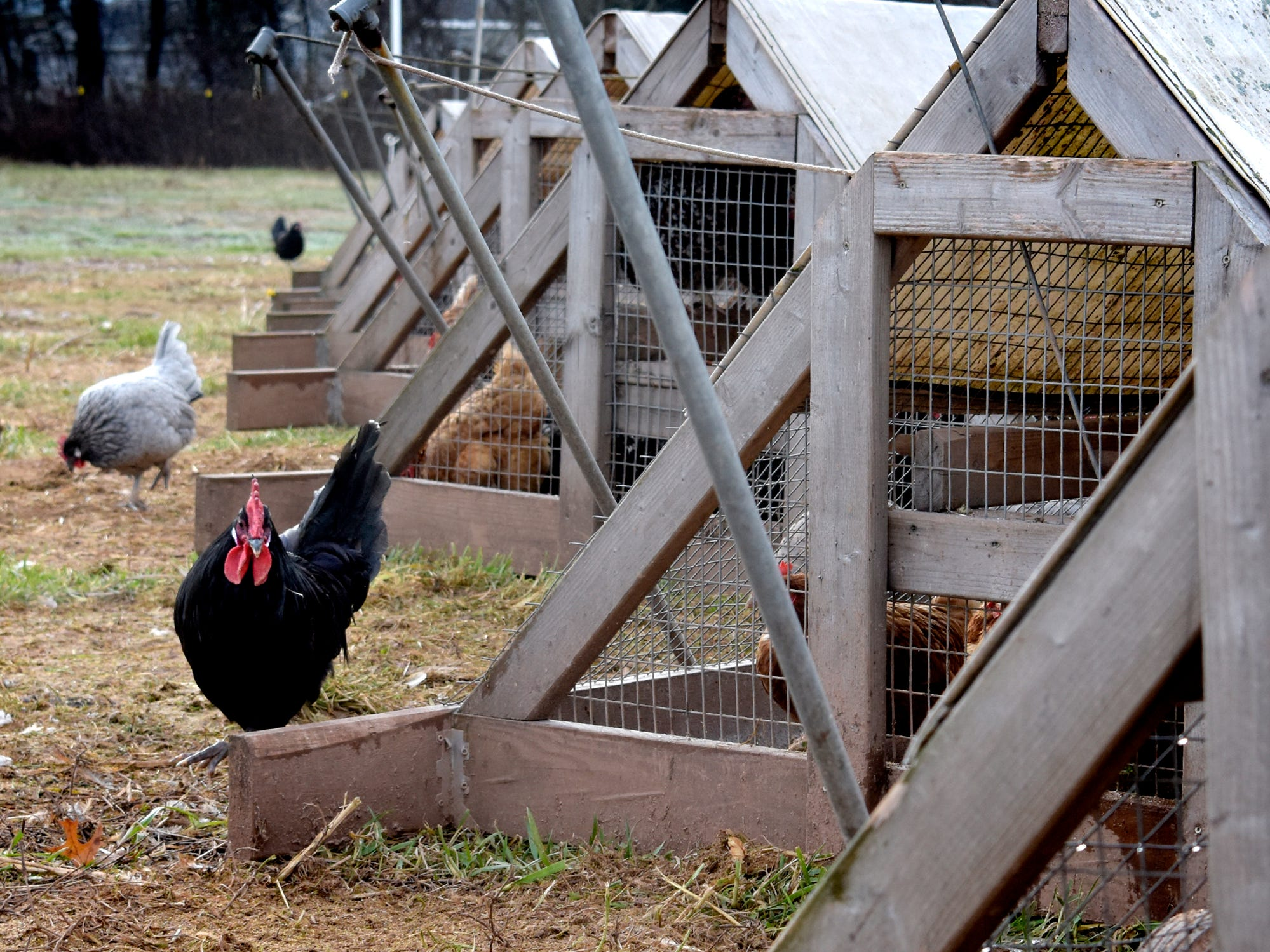 A rooster walks along portable chicken pens at his family's sustainable Sunnyside Farm in Newberry Township Friday, Jan. 4, 2019. Homer Walden designed the pens which allow the egg layers to feed on clean, fresh grass. Bill Kalina photo