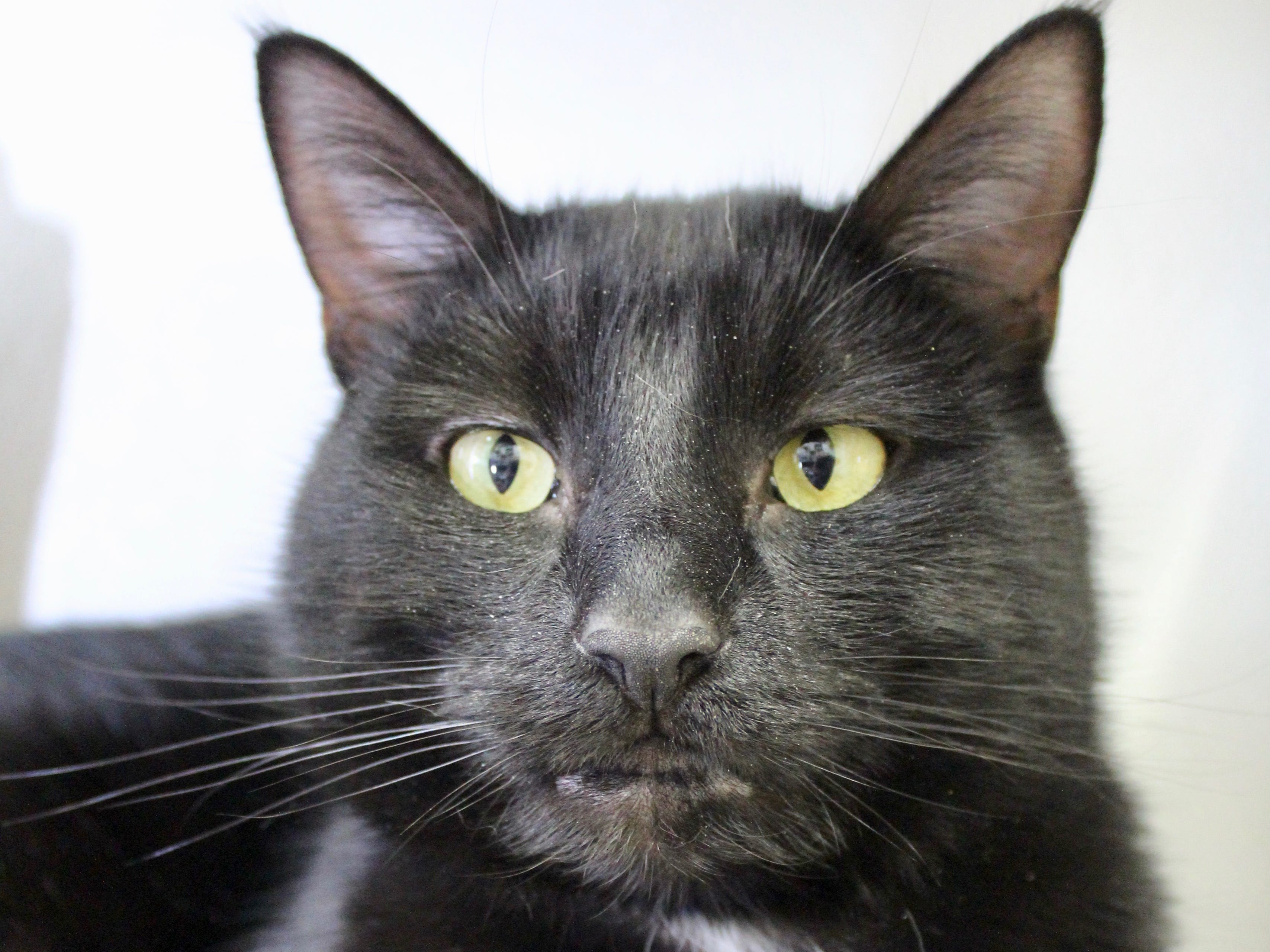 Sylvester is a 2-year-old short-haired black cat. He is a big cat at 12 pounds, and he is remarkably athletic. He enjoys chasing wand toys and gets along nicely with other cats, but his history with dogs is unclear. To find our more, call Willamette Humane Society at 503-585-5900 or visit www.whs4pets.org.