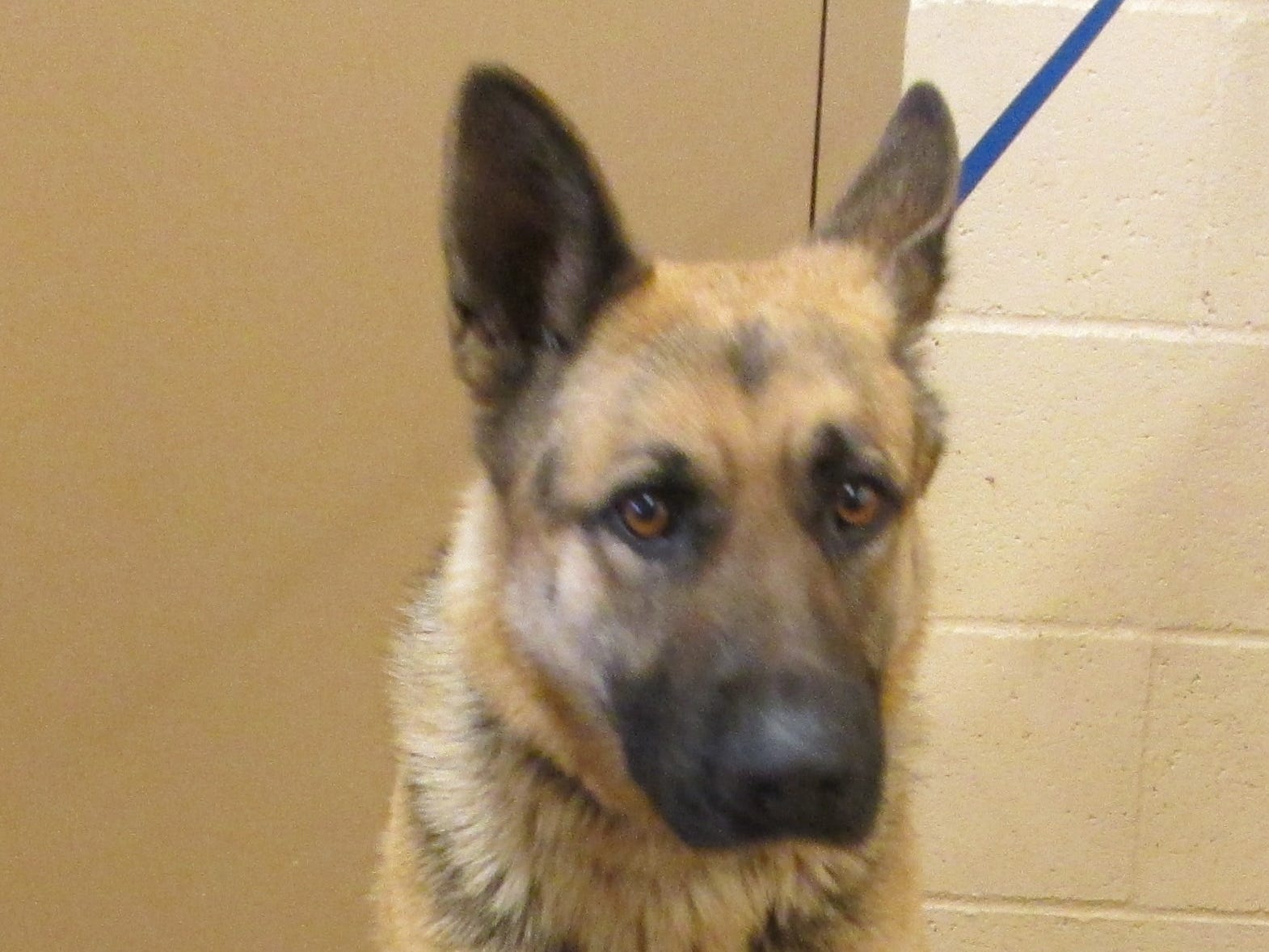Betsy is a 3-year-old female black and tan German shepherd. She is just coming into her own, so Betsy may need a confidence boost now and then with training, guidance and love. A stable environment is what she needs most. Contact Marion County Dog Services at 503-588-5366 or go to www.MCDogs.net.