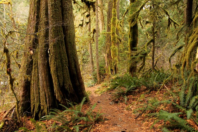 The Salmon River Trail near Mount Hood offers big trees and river views.