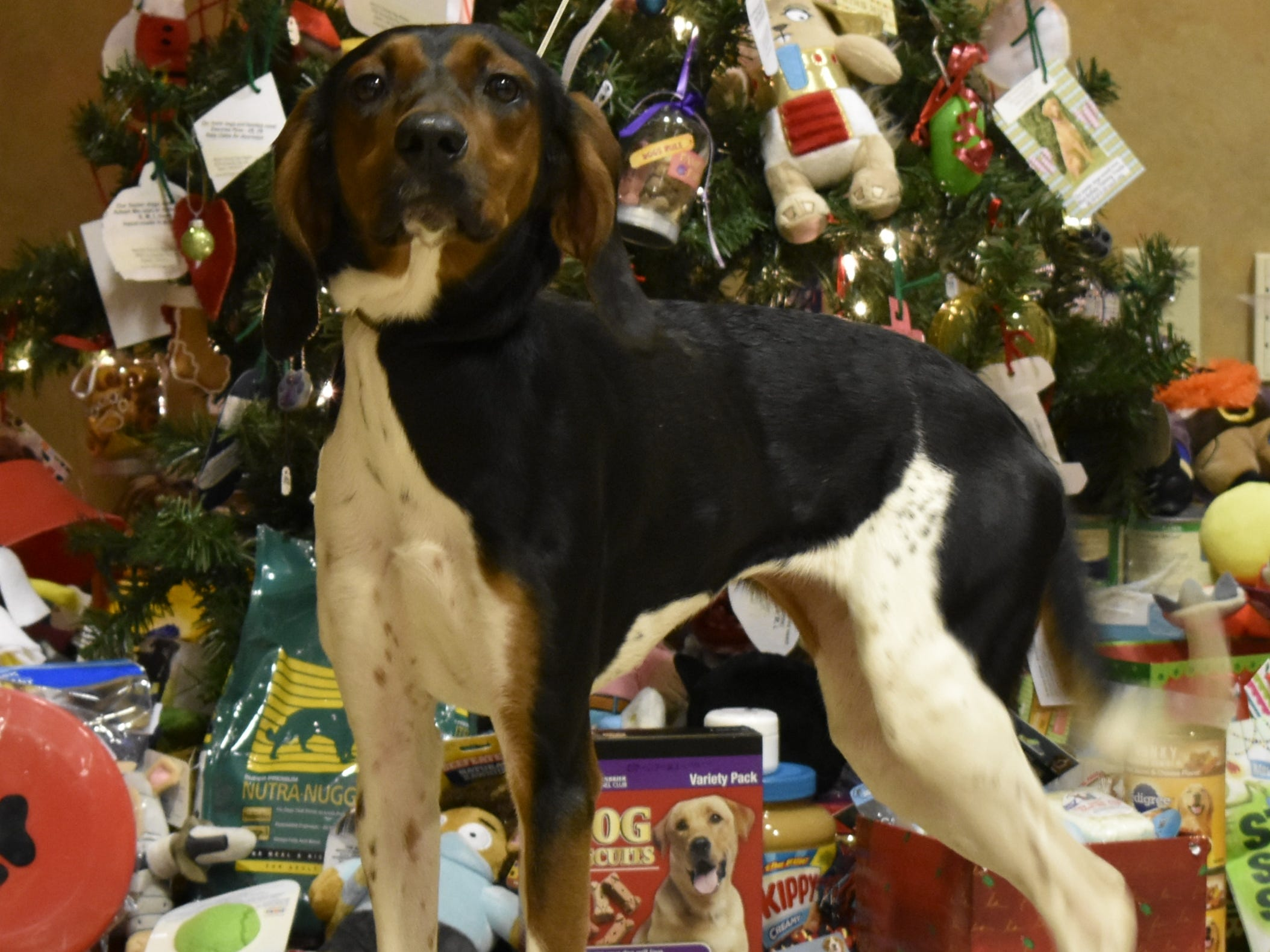 Dixie is a young adult female tri color Coonhound/Walker cross. She is a big puppy that loves playing with toys, going for jogs and hanging with dog friends. She is looking to learn with a nice family. Contact Marion County Dog Services at 503-588-5366 or go to www.MCDogs.net.