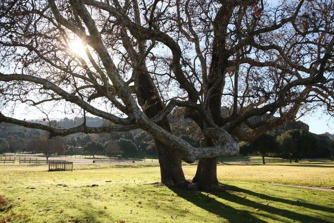 Sunlight hits a tree in Toro County Park. Jan 4, 2019.