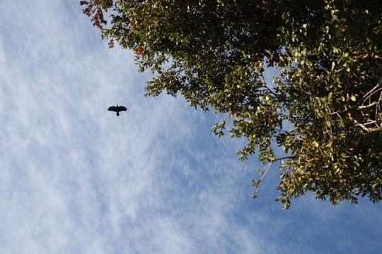 A crow flies over Toro County Park in Salinas, Calif. Jan. 4, 2019.